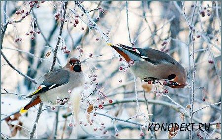 Зимующие в Сибири птицы