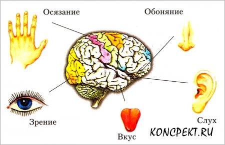 Органы чувство человека