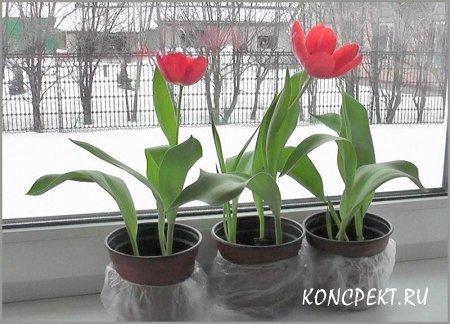 Тюльпаны, выращенные на подоконнике