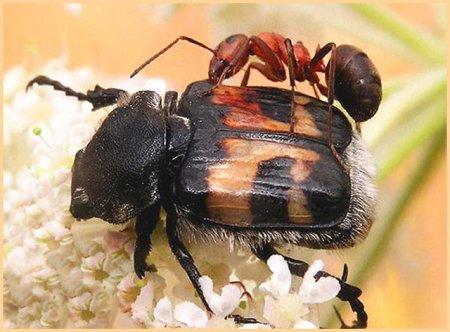 Муравей на спине у жука