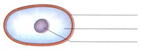 Подпишите название главных частей клетки