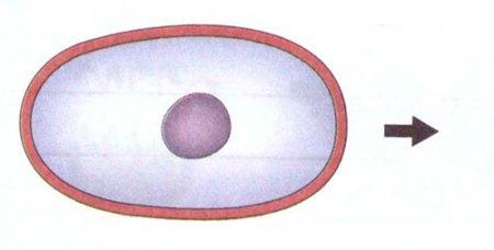 Составьте схему деления клетки