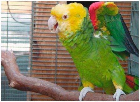 Попугай Гоша