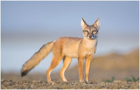 Корсак - степная лисица