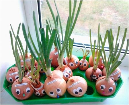 Выращивание лука на подоконнике в детском саду