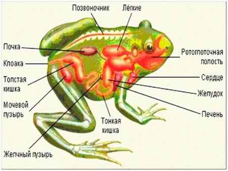 Строение внутренних органов лягушки