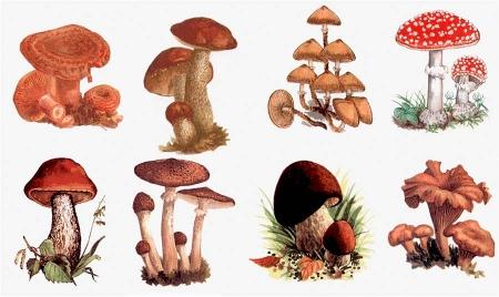 Ядовитые и съедобные грибы