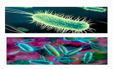 Кишечная палочка и молочные бактерии